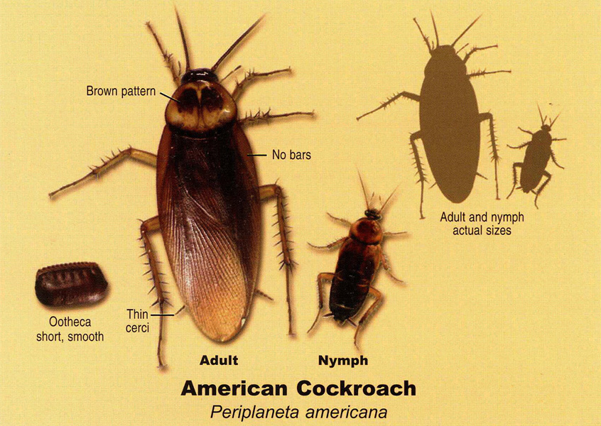 Baby american cockroach